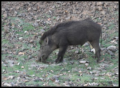 Wild boar, Bandipur, Karnataka, India, February 2015
