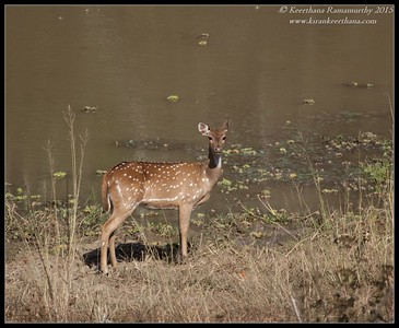 Spotted Deer, Bandipur, Karnataka, India, February 2015