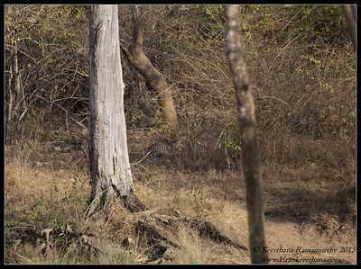Indian Leopard, Bandipur, Karnataka, India, February 2015