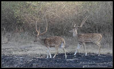 Spotted Deer stags, Bandipur, Karnataka, India, February 2015