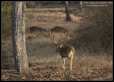 Spotted Deer stag, Bandipur, Karnataka, India, February 2015