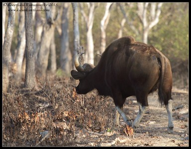 Gaur bull chasing the boar, Bandipur; Karnataka; February 2015