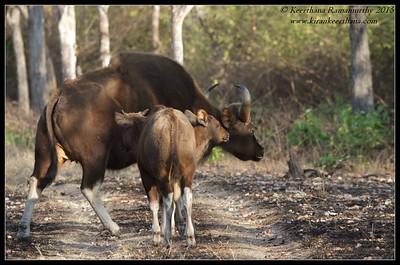 Gaur cow with calves, Bandipur; Karnataka; February 2015