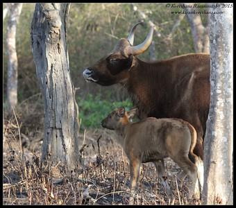 Gaur bull with calf, Bandipur; Karnataka; February 2015