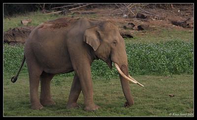 Myna leading the elephant home, Kabini, Mysore, Karnataka, India, June 2009
