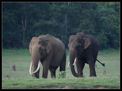 Tuskers Double treat !!,  Kabini, Mysore, Karnataka, India, June 2009