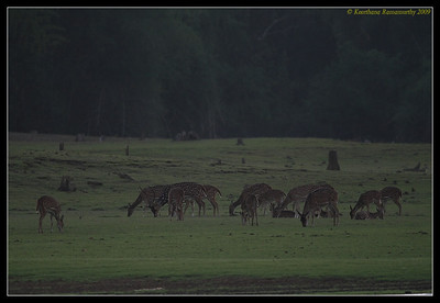 Spotted Deer herd grazing in the evening, Kabini, Mysore, Karnataka, India