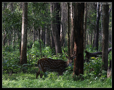 Spotted Deer Stag, Kabini, Mysore, Karnataka, India, June 2009