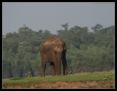 Elephant grazing, Kabini, Mysore, Karnataka, India, June 2009