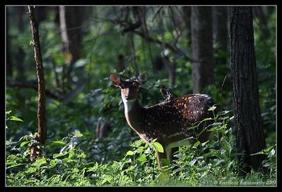 Spotted Deer, Kabini, Mysore, Karnataka, India, June 2009