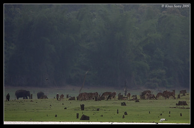 Harmony among animals - Wild Boar with Myna on it, 2 Elephants in the back, huge herd of Spotted deers grazing, Myna in flight, Egret Fishing, no sign of any predator. It cannot get any more peaceful than this in Kabini in the evening. Kabini, Mysore, Karnataka, India, June 2009