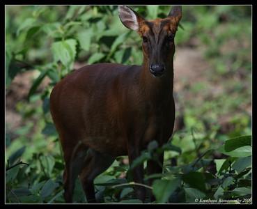 Barking deer, Kabini, Mysore, Karnataka, India, June 2009