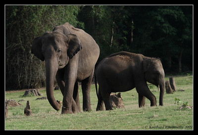Elephant & juvenile tusker, Kabini, Mysore, Karnataka, India, June 2009