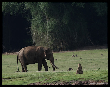 Asian Elephant - Tusker, Kabini, Mysore, Karnataka, India, June 2009
