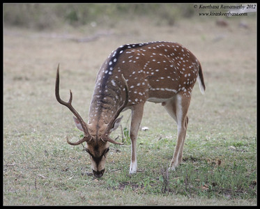 Spotted Deer stag grazing, Bandipur, Karnataka, India, June 2012