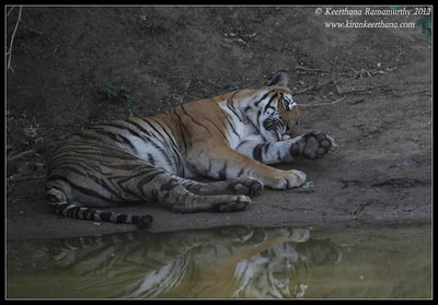 Tigress resting after a meal by the Venkatappan Paala waterhole, Bandipur, Karnataka, India, June 2012