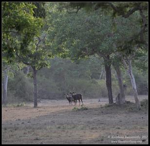 Sambar male and female at dusk, Bandipur, Karnataka, June 2012
