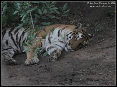 Tigress; Bandipur; Karnataka; June 2012