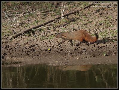 Indian Gray Mongoose; Bandipur; Karnataka; June 2012