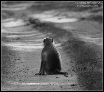 Hanuman Langur in the middle of the road, Bandipur safari, Karnataka, June 2012