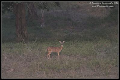 Spotted Deer; Bandipur; Karnataka; June 2012