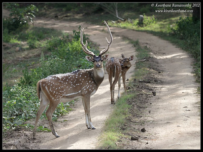 Spotted Deer stag showing off its antlers, Bandipur, Karnataka, India, June 2012