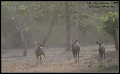 Sambar herd at dusk, Bandipur, Karnataka, June 2012
