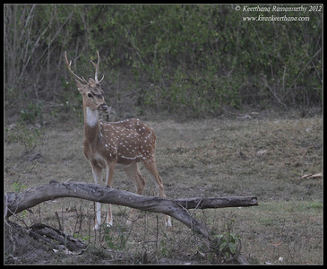 alert Spotted Deer stag at dusk, Bandipur, Karnataka, June 2012,