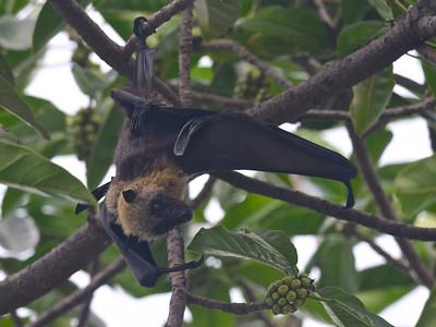 Fruit Bats of the Comoro Islands