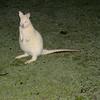 Albino Bennett's Wallaby (Macropus rufogriseus) Bruny Island, Tasmania.
