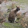 Bennett's Wallaby (Macropus rufogriseus) Tasmania.