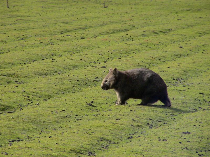 Common Wombat (Vombatus ursinus) Tasmania