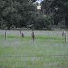Eastern Gray Kangaroo (Macropus giganteus) Deniliquen NSW