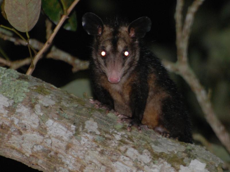 Central American Wooly Opossum (Caluromys derbianus) Lago Yajoa, Honduras