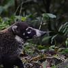 White-nosed Coati (Nasua narica)  Tapanti NP, Costa Rica