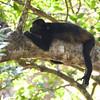 Mantled Howler Monkey (Alouatta palliata) Tamarindo, Costa Rica