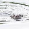 North American River Otter (Lontra canadensis) Lago Yajoa, Honduras