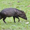 Collared Peccary (Pecari tajacu) La Selva Reserve, Costa Rica