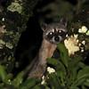 Raccoon (Procyon lotor) Lago Yajoa, Honduras