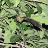 Aztec Fruit-eating Bat (Artibeus aztecus) Lago Yajoa, Honduras
