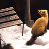 A Sable (Martes zibellina) that visited the Ryokan bird feeder, Ryokan Fujiya, Nakashibetsu