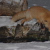 A Japanese Red Fox (Vulpes vulpes) visited the Blakiston's Fish Owl Trout Pond, Ryokan Fujiya, Nakashibetsu