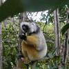 Diademed Sifaka (Propithecus diadema edwardsi) captive on Lemur Island near Perinet.