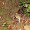 A Fanaloko or Striped Civit (Fossa fossana) also appeared as we waited for the Brown Mouse Lemurs to appear and start feeding at Ranomafana NP.
