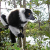 Black-and-white Ruffed Lemur (Varecia variegata variagata) captive on Lemur Island near Perinet.