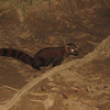 A Ring-tailed Mongoose (Galidia elegans) came looking for crumbs as we waited for the Brown Mouse Lemurs to appear and start feeding at Ranomafana NP.