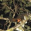 Peruvian Night Monkey (Aotus miconax) La Esperanza, Amazonas, Peru