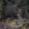 White-lipped Peccaries along the Serra Trail, Cristalino Lodge, Alta Floresta, Mato Grosso, Peru.