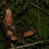 Feline (Azara's) Night-Monkeys (Aotus azurae) crossing above the trail on the way back to our cabin late one evening. Cristalino Lodge, Alta Floresta, Mato Grosso, Peru