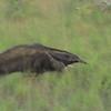 Giant Anteater (Myrmecophaga tridactyla) Dadanawa Ranch, Upper Essiquibo, Guyana